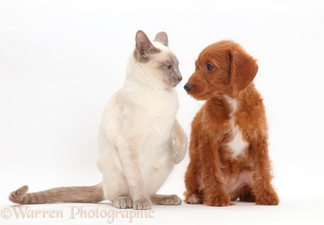 Blue-point Birman-cross cat and Goldendoodle puppy, white background