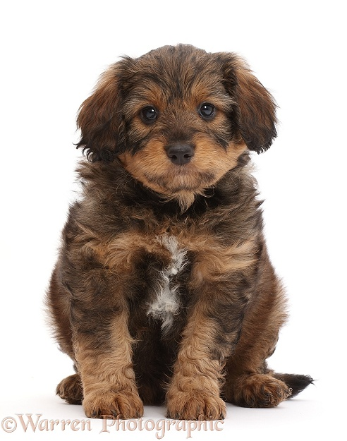 F1b Toy Goldendoodle puppy, sitting, white background