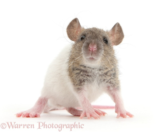 Baby Rex rat, white background