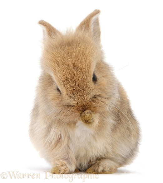 Baby Lionhead-cross rabbit washing a paw, white background
