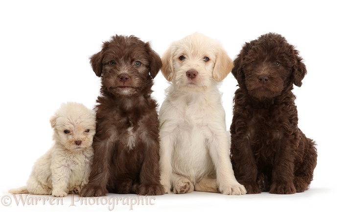 Golden and Chocolate Labradoodle puppies. These puppies are all 6 weeks old, but the smaller one is a runt, white background