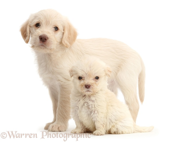 Golden Labradoodle puppies. These puppies are both 6 weeks old, but the smaller one is a runt, white background