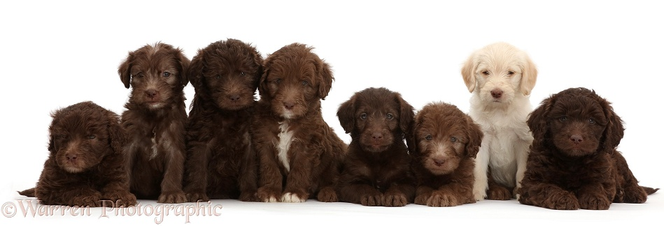 Eight Golden and Chocolate Labradoodle puppies, 6 weeks old, white background