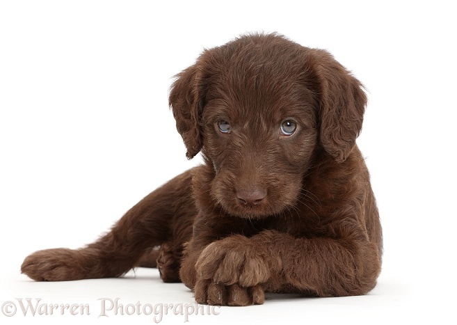 Chocolate Labradoodle puppy with crossed paws, white background