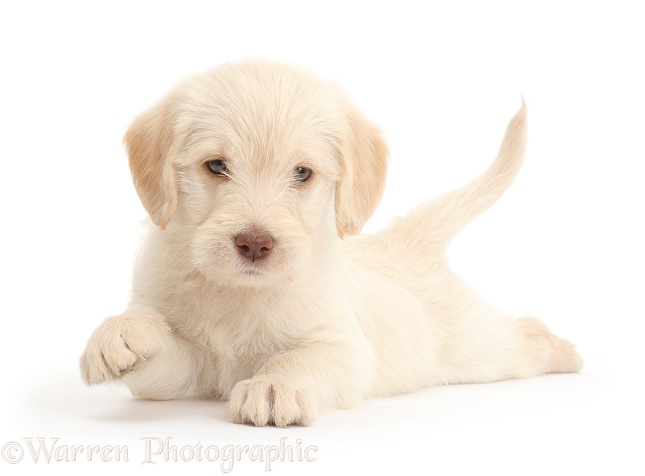 Golden Labradoodle puppy lying spread out, white background