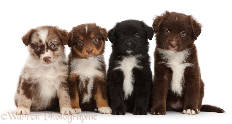 Four Mini American Shepherd puppies in a row, white background