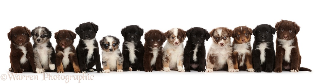 Thirteen Mini American Shepherd puppies in a row, white background