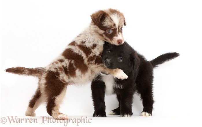 Playful Miniature American Shepherd puppy, 5 weeks old, white background