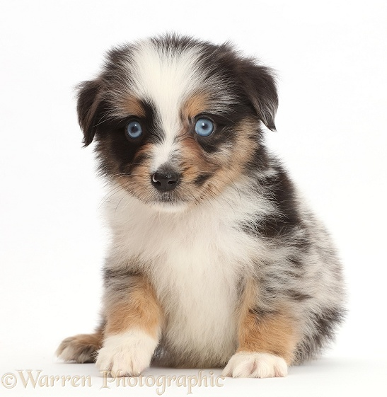 Blue-eyed tricolour merle Miniature American Shepherd puppy, 5 weeks old, white background