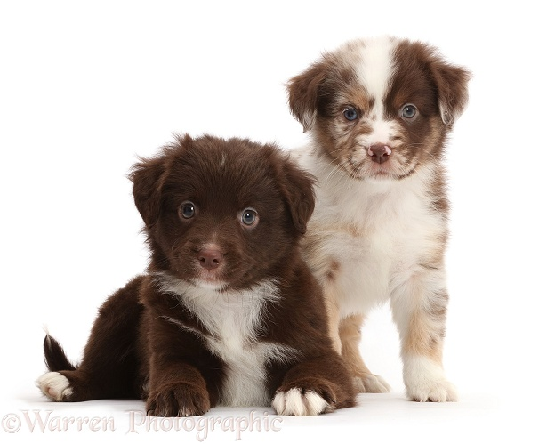 Two Miniature American Shepherd puppies, 5 weeks old, white background