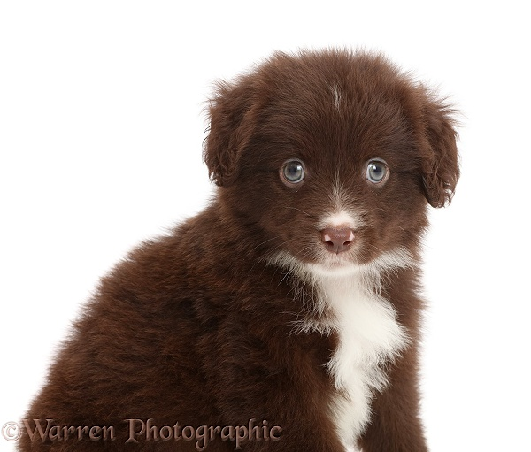 Chocolate Miniature American Shepherd puppy, 5 weeks old, white background
