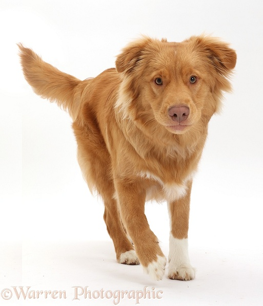 Nova Scotia Duck Tolling Retriever dog, 6 months old, running forward, white background