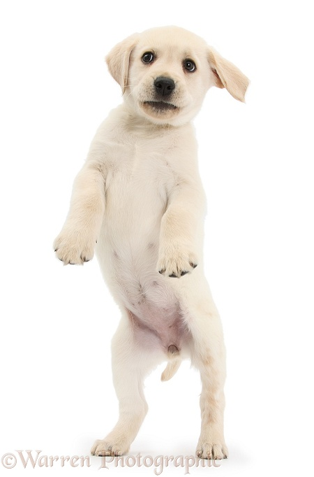 Yellow Labrador Retriever puppy, 8 weeks old, jumping up, white background