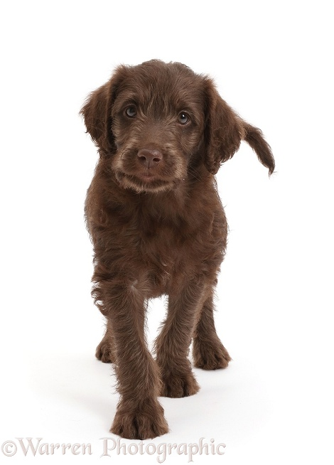 Chocolate Labradoodle puppy walking, white background