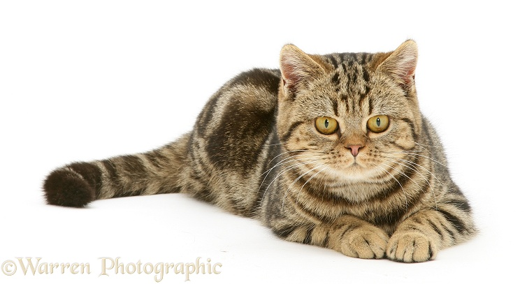 British Shorthair brown tabby cat, Tiger Lily, lying, white background