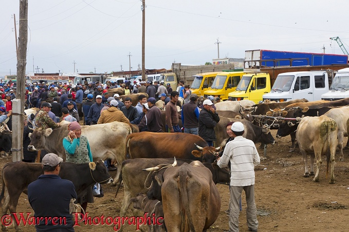 People and cattle at the Karakol Animal Market.  Kyrgizstan