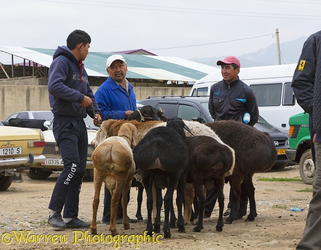 Men with Fat-tailed or Dumba Sheep at Karakol Animal Market.  Kyrgizstan
