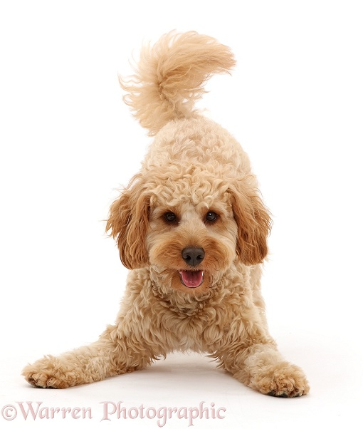 Cavapoo dog, Monty, 10 months old, in play-bow stance, white background