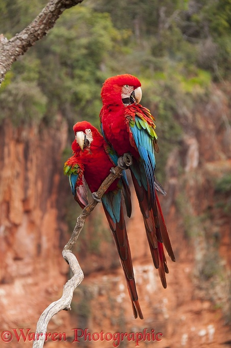 Green-winged Macaws (Ara chloroptera) preening.  South America