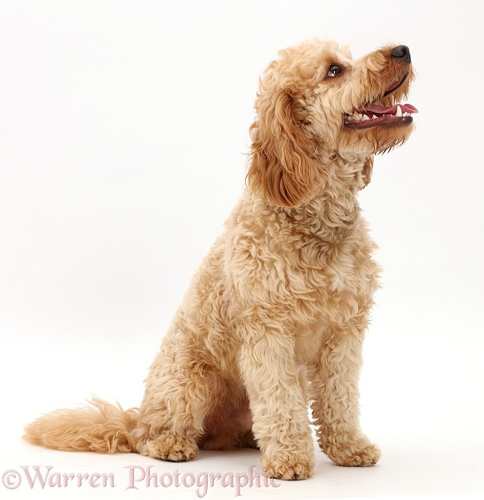 Cavapoo dog, Monty, 10 months old, sitting, white background