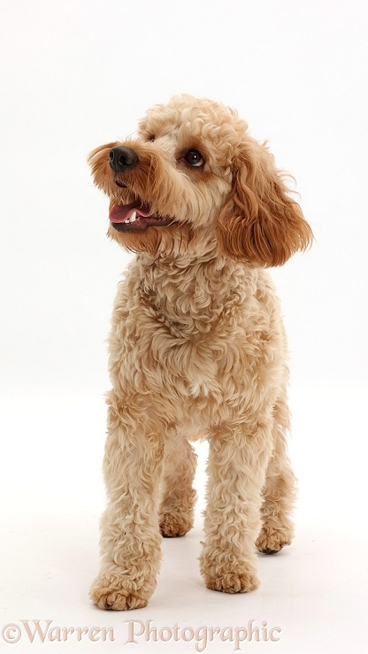 Cockapoo dog, Monty, 10 months old, standing, white background