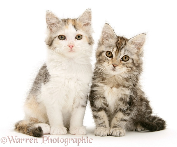 Calico and tabby Maine Coon kittens, white background