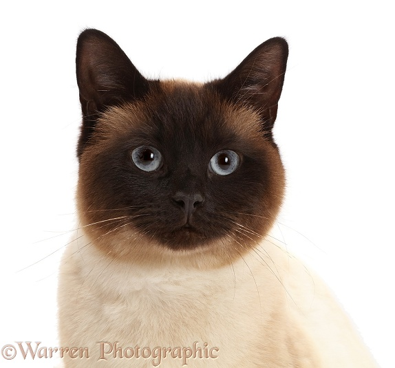 Chocolate point cat, white background