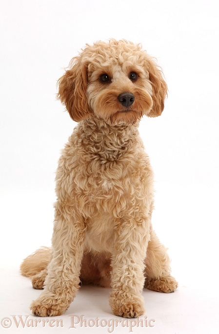 Cockapoo dog, Monty, 10 months old, sitting, white background