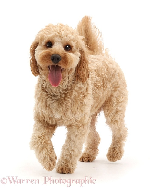 Cavapoo dog, Monty, 10 months old, walking, white background