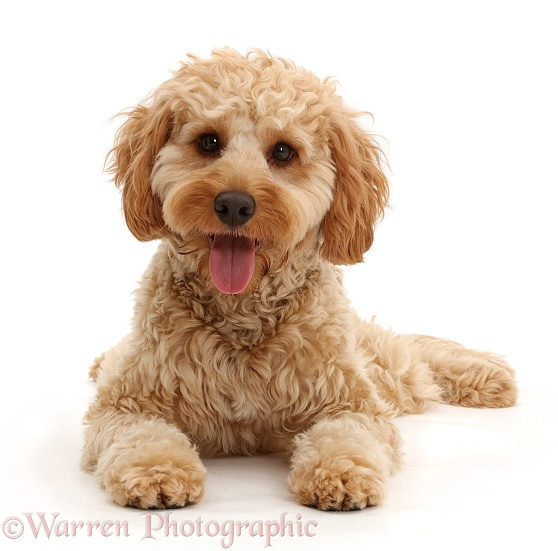 Cockapoo dog, Monty, 10 months old, lying with head up, white background