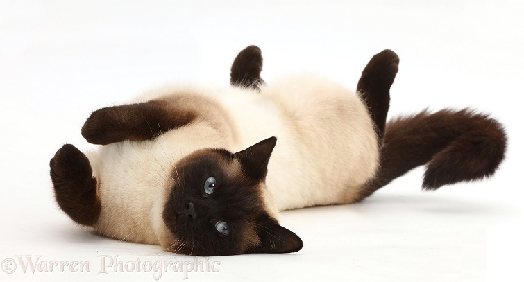 Chocolate point cat rolling playfully, white background