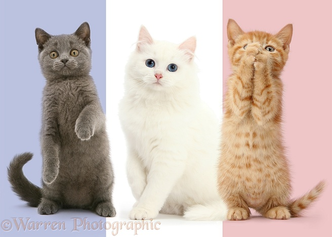 Tricolour French flag cats, white background