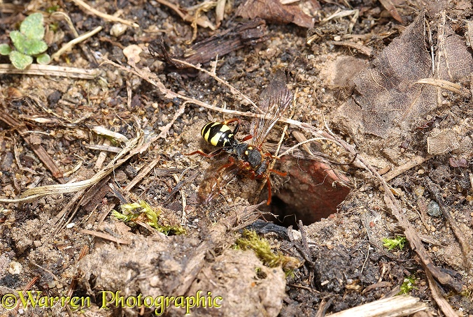 Cuckoo Bee (Nomada ruficornis) entering burrow of Mining Bee (Andrena bimaculata)