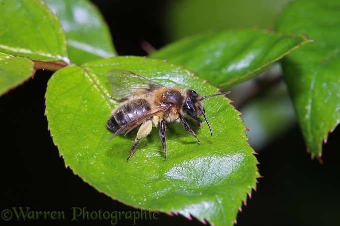 Large Gorse Mining Bee (Andrena bimaculata) on rose leaf