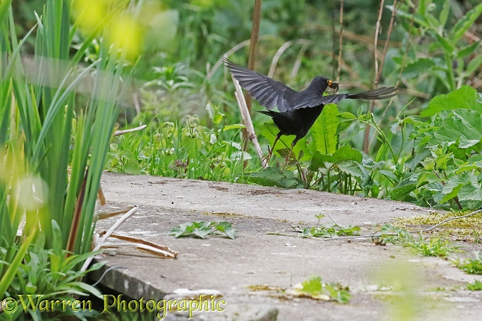 Blackbird (Turdus merula) male flying off with newt it has caught in a pond