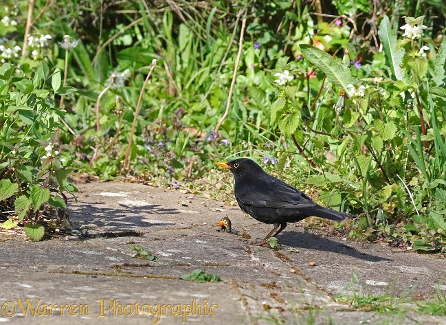 Blackbird (Turdus merula) male with newt it has caught in a pond