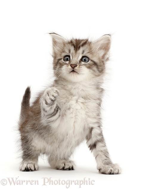 Silver tabby kitten with raised paw, white background