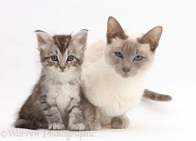 Silver tabby kitten with his Birman-cross mother, white background