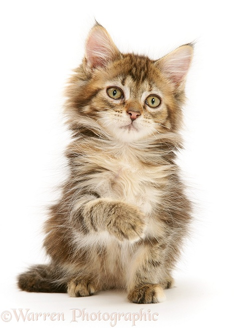 Tabby Maine Coon kitten sitting, white background