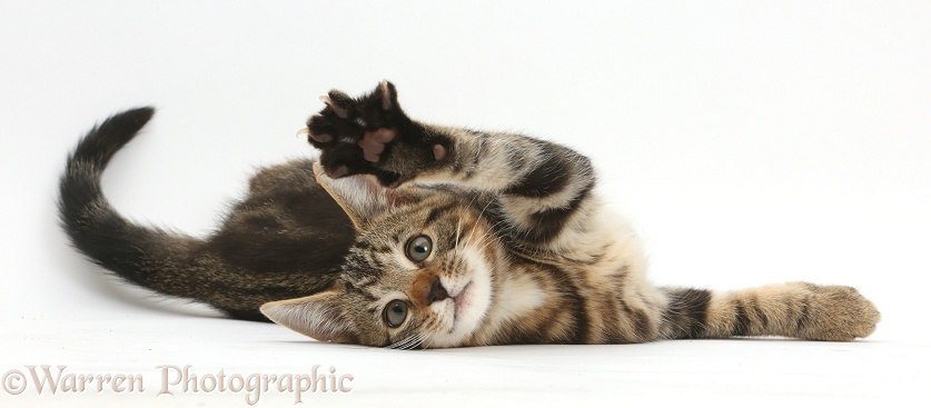 Tabby kitten, Picasso, 11 weeks old, lying on his side, with raised paw, white background