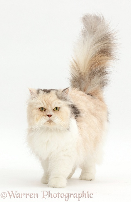 Cream-and-blue Persian cat walking, white background