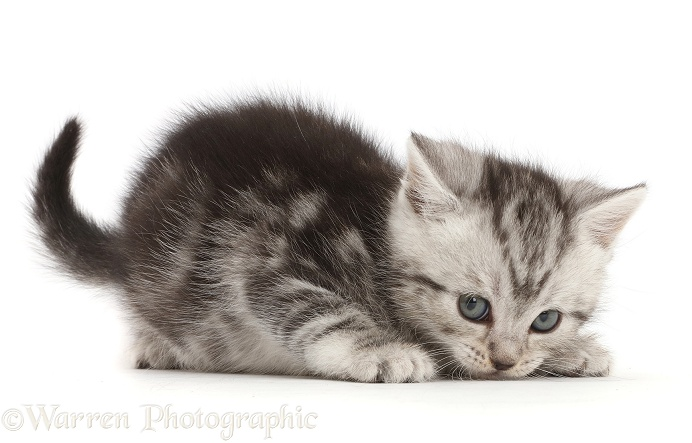 Cheeky silver tabby kitten, 6 weeks old, white background