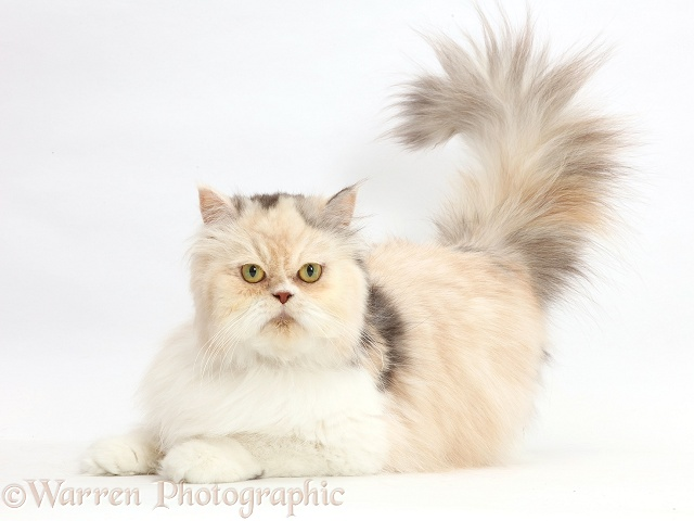 Cream-and-blue Persian cat, white background