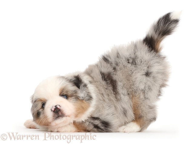 Mini American Shepherd puppy in play-bow, white background