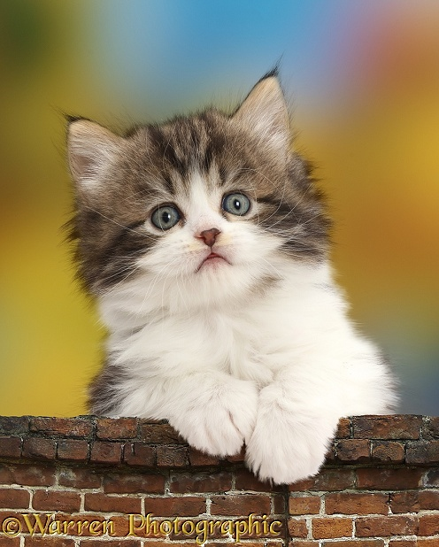 Fluffy tabby-and-white kitten leaning over a wall