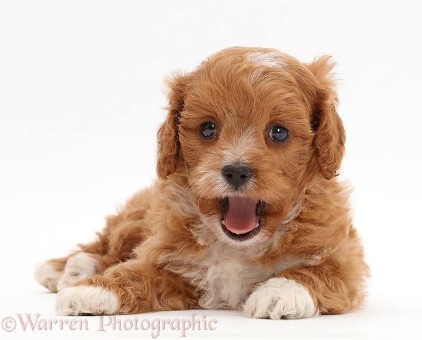 Cute red-and-white Cavapoo puppy, yawning, white background