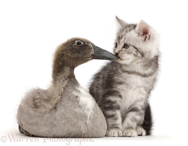 Silver tabby kitten kissing Indian Runner duckling on the beak, white background