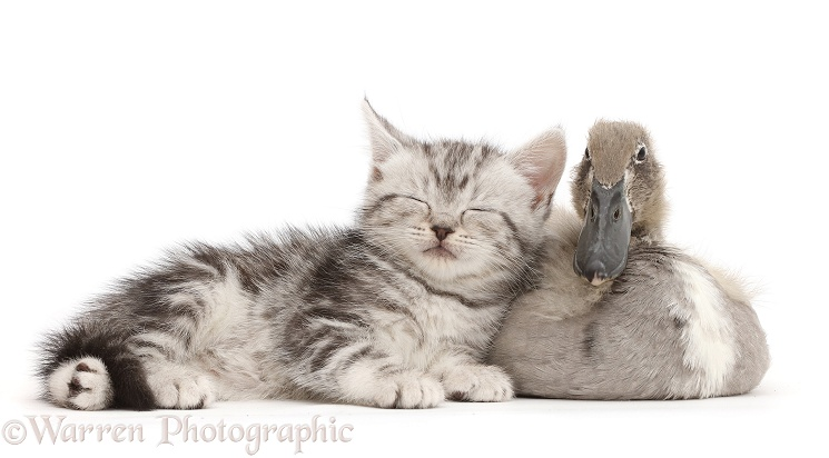 Sleepy silver tabby kitten with Indian Runner duckling, white background