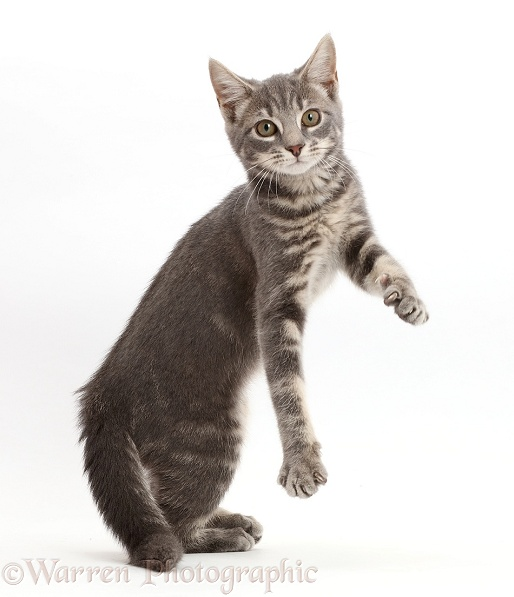 Grey tabby kitten jumping up, white background