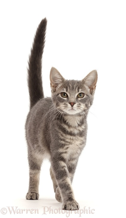 Grey tabby kitten walking with tail up, white background